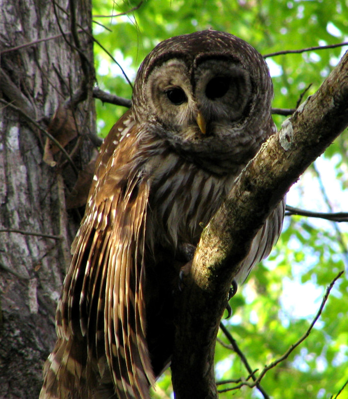 Barred_Owl1