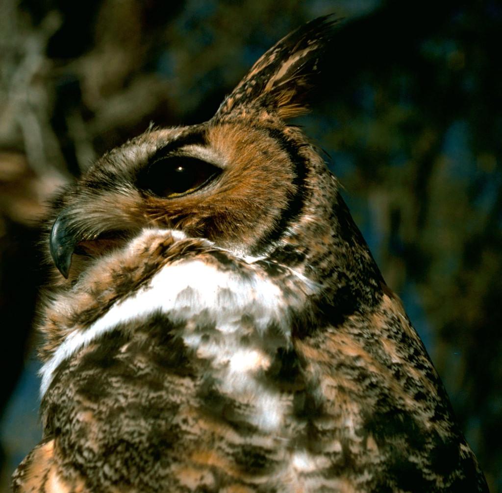 Great_Horned_Owl.2