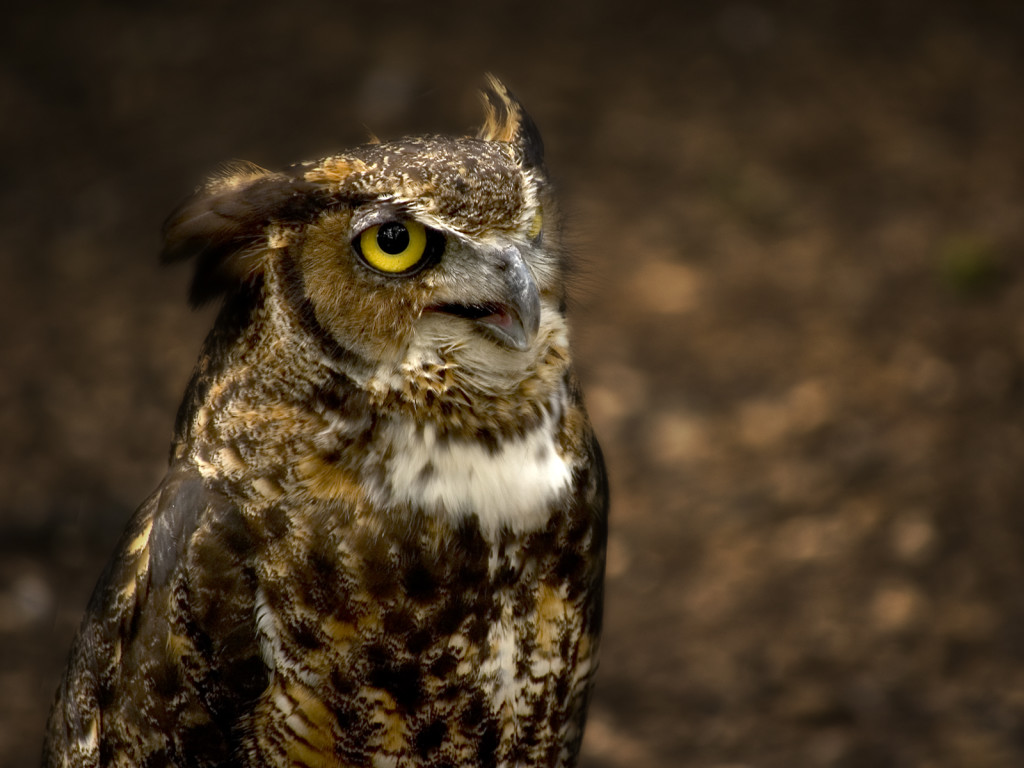 The Great Horned Owl8